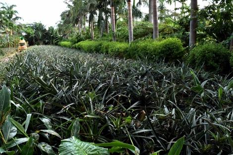 34_Pineapple_Park_Fotor.jpg